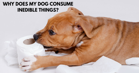 why does my dog consume inedible things, puppy training