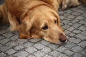coddling is stressing your dog out, dog fear, dog anxiety