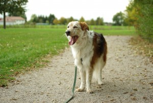 leash training, walking an excited dog