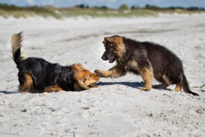 german shepherd puppy biting take charge like this - HD 3901×2601