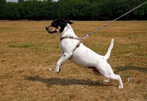 leash training, dog training, puppy training, leash manners, collars vs. harnesses