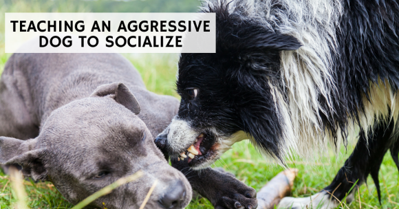 teaching an aggressive dog to socialize, socializing dogs, dog aggression, dog training, puppy training