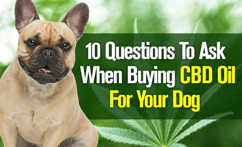 Guide To Buying CBD Oil for Your Dog