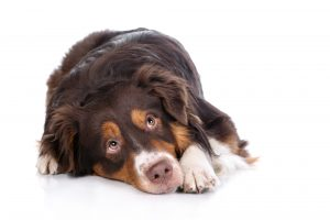 dog noise anxiety treatment, loud noises, noise phobia, noise aversion, dog owners, fear, pet, owners, social anxiety, sound