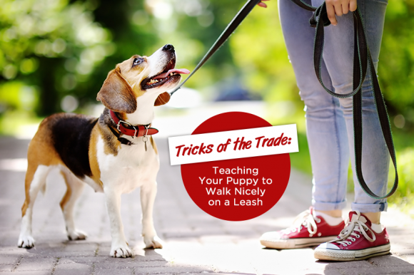 Tricks of the Trade; Teaching Your Puppy to Walk Nicely on Leash