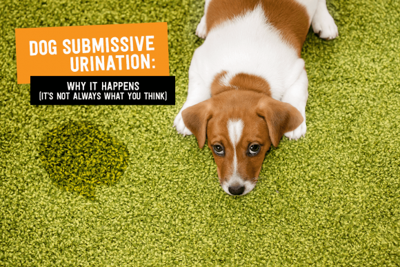 Dog Submissive Urination: Why it Happens (It's Not Always What You Think)