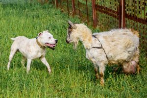 pit bulls are great for defending livestock