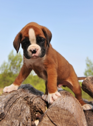 Boxer Puppy Read To be Trained