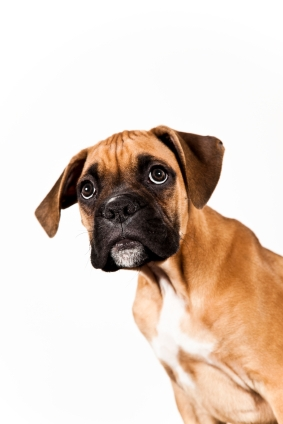 boxer puppy training