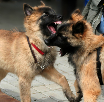Introducing A Puppy To An Aggressive Dog