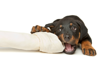 How To Train A Rottweiler Puppy Thedogtrainingsecretcom The Dog