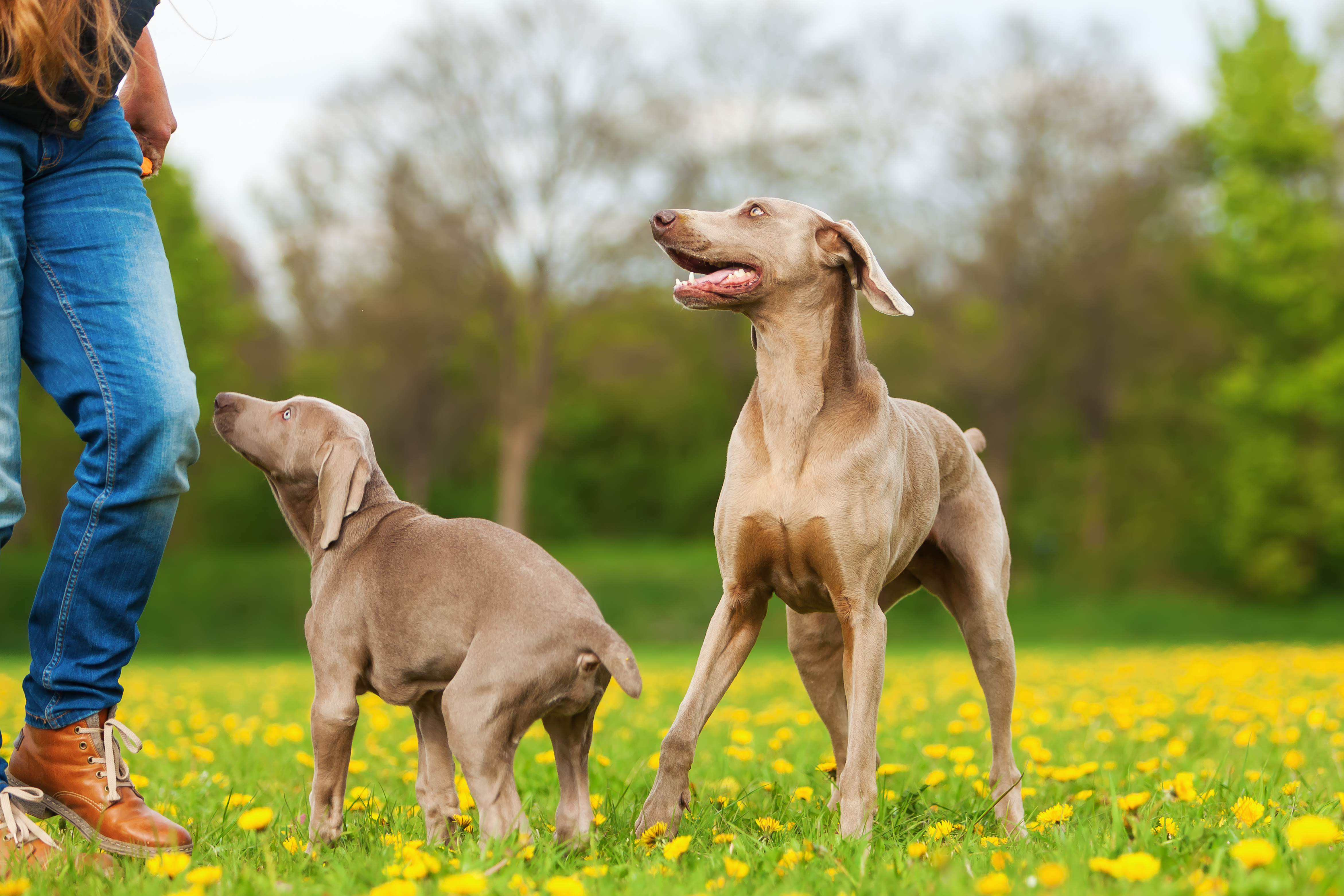 Training Weimaraner Puppies The Dog Training Secret
