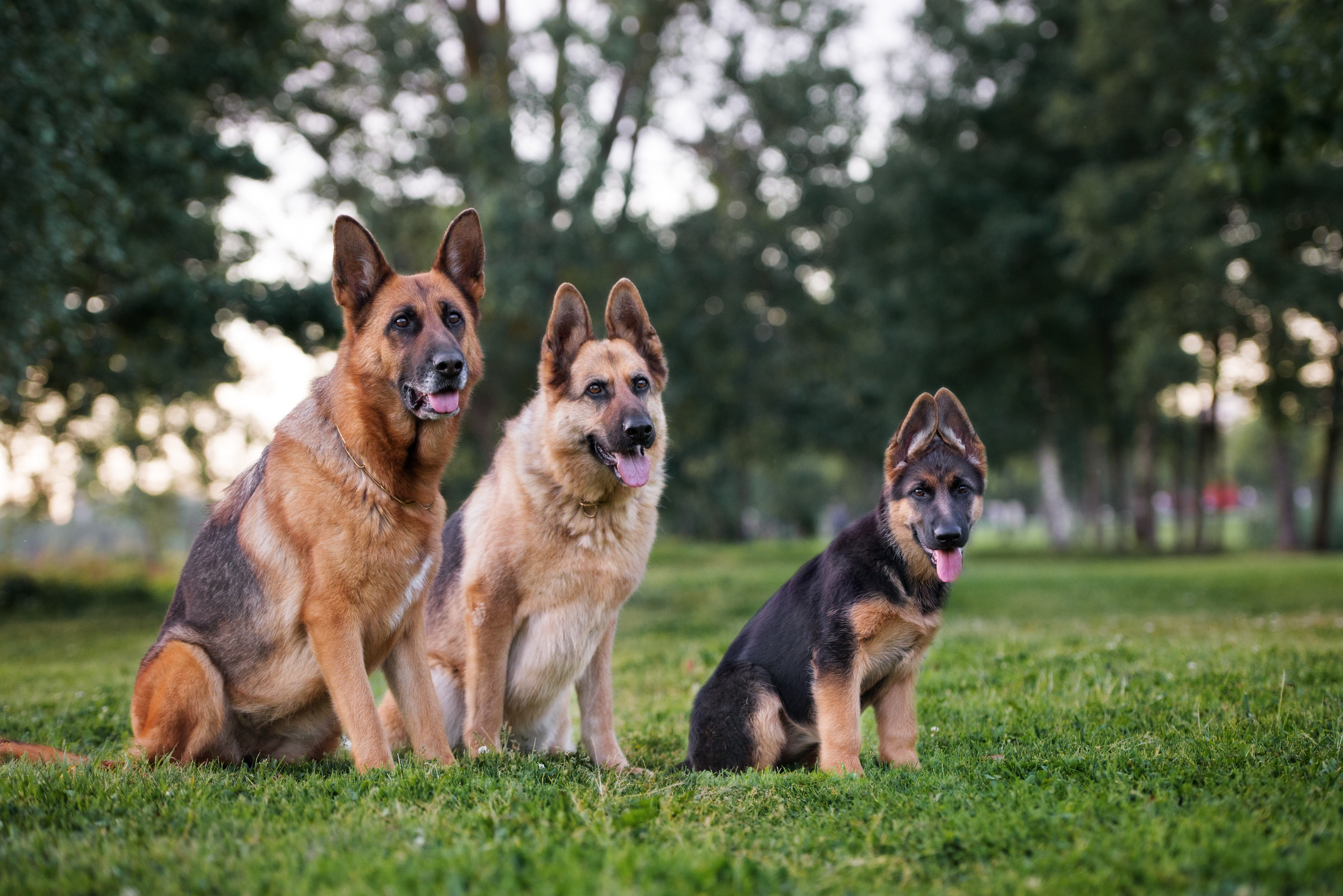 Brilliant German Shepherd Training Beginners Guide The Dog Training Download Free Architecture Designs Meptaeticmadebymaigaardcom