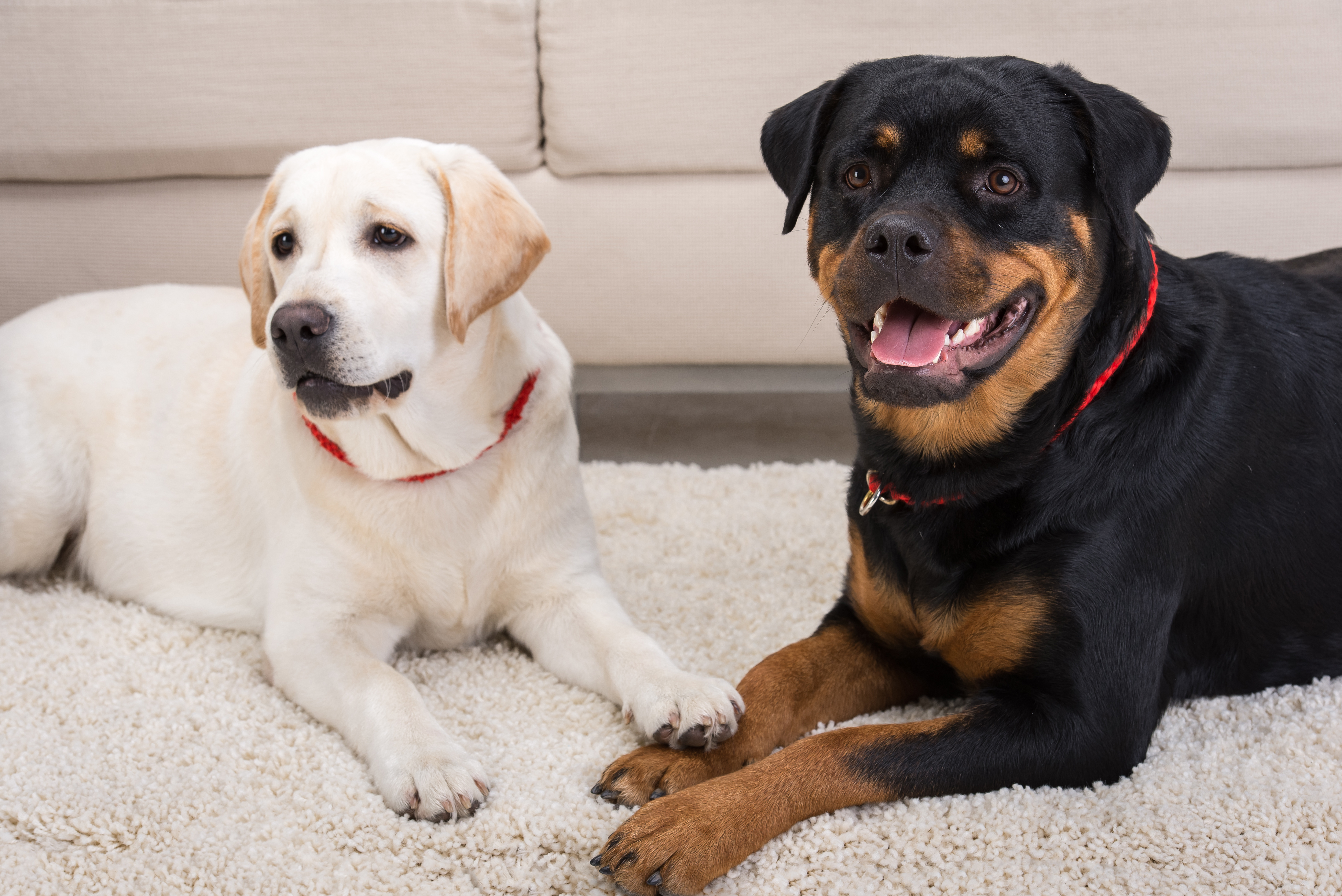 Rottweiler Training Your Guide To Raising This Loyal